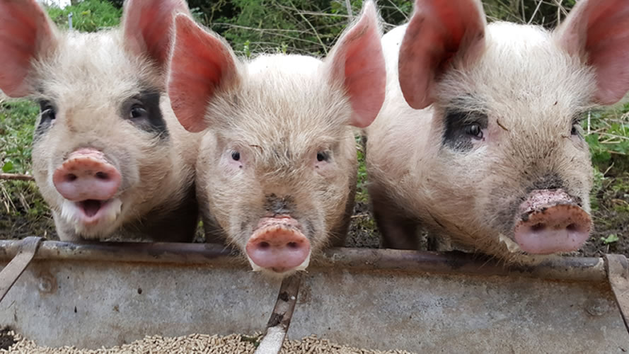 We use traditional pig breeds